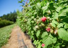 Raspberries Growing On Raspber...