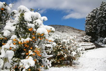 Japanese Oranges Under Snow In...