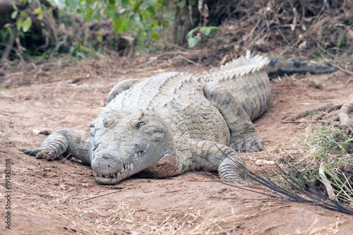 Foto op Plexiglas Krokodil coccodrillo