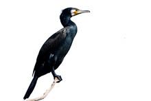 Great Cormorant (Phalacrocorax Carbo) In Danube Delta