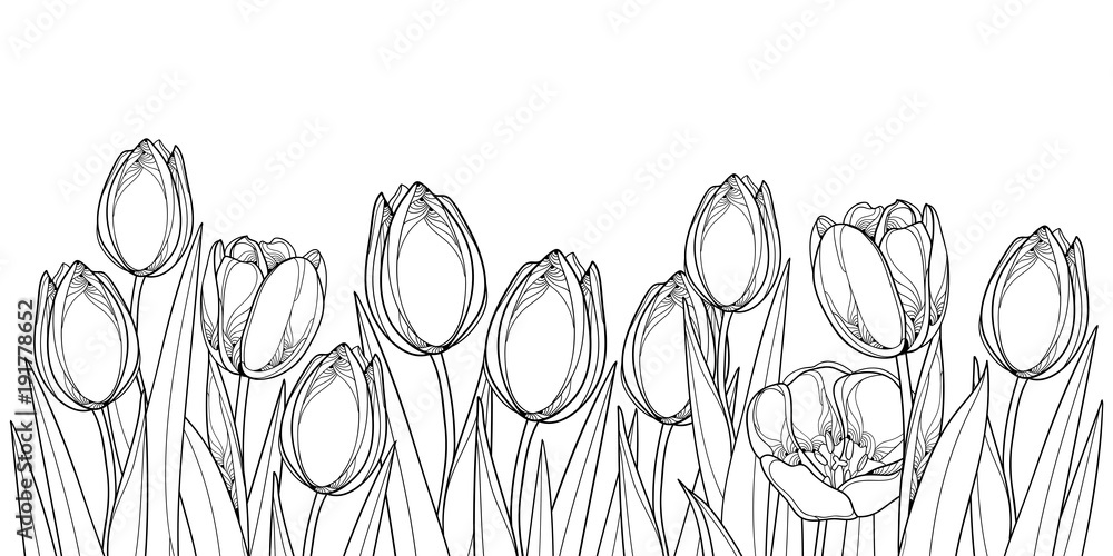 Fototapety, obrazy: Vector horizontal border with outline tulip flowers, bud and ornate leaves in black isolated on white background. Contour tulips for greeting spring design or coloring book.