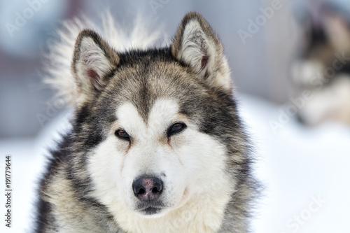 Siberian Husky dog portrait outdoor in winter Wallpaper Mural
