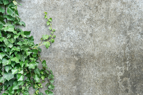 Fotografia background with ivy / Background with gray plastered wall and ivy leaves