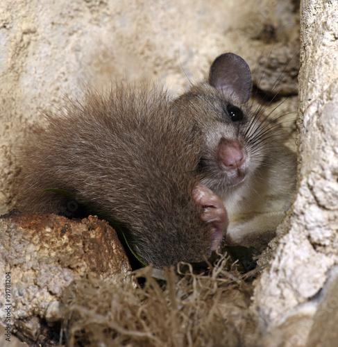 Photo  Siebenschläfer sitzt im Nest (Glis glis) - Edible dormouse