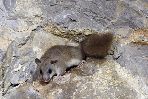 Siebenschläfer (Glis glis) - Edible dormouse Canvas Print