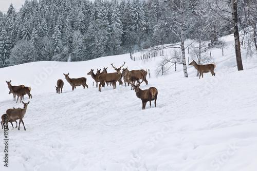 Fotobehang Ree Rotwild bei der Winterfütterung