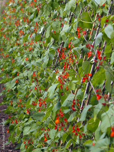 Photo Abundant red blossom on a row of runner bean plants
