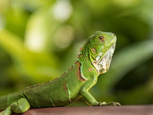 Small Green Iguana Closeup