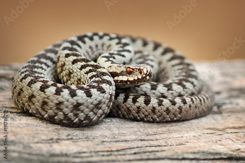 Photo beautiful common viper male