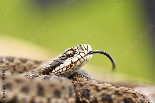 rare meadow viper portrait