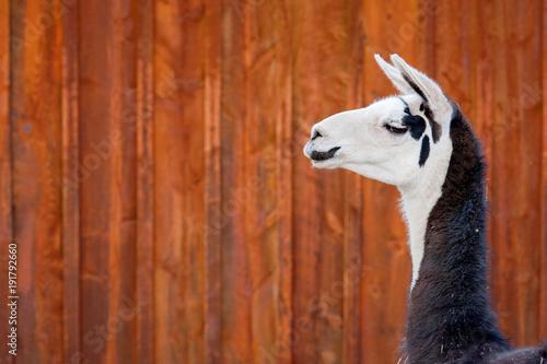 Staande foto Lama Black and White Llama