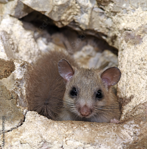 Photo Siebenschläfer (Glis glis) - Edible dormouse