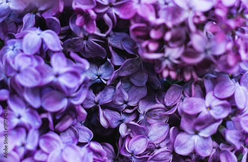 Closeup of purple lilac