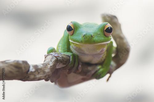 Tuinposter Kikker White Lips Frog