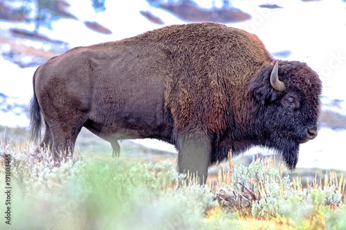 Foto op Canvas Bison Profile of bison bull with snow in background