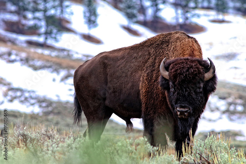 Foto op Canvas Bison Bison bull with snow in background
