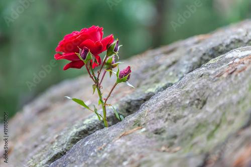 Fototapeta Rose im Stein