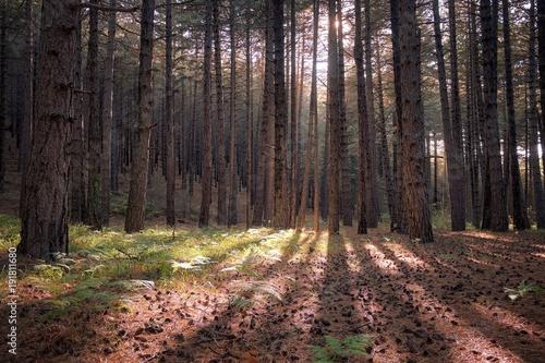 Fényképezés  Forest Pines On Etna Park, Sicily