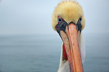 The Head Of A Pelican Standing On The Huntington Beach Pier.