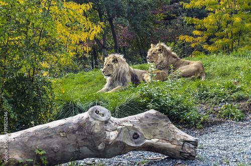 Deux lions se reposant sur l'herbe d'un parc animalier