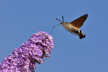 Buddleja Davidii - Butterfly Bush With Hummingbird Hawk-moth In Background Against Blue Sky