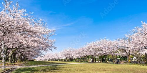 Deurstickers Kersen 満開の桜並木