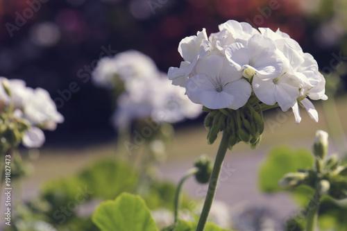 white geranium flower blooming in garden
