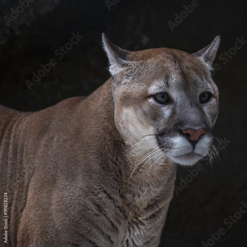 Staande foto Puma Puma (mountain lion, Cougar) is the fourth largest cat in the world, larger than only the tiger, lion and Jaguar.