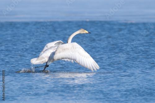 Fototapeta Whooper Swan obraz na płótnie