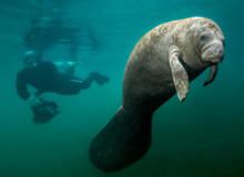 Manatee And Diver. This Manate...