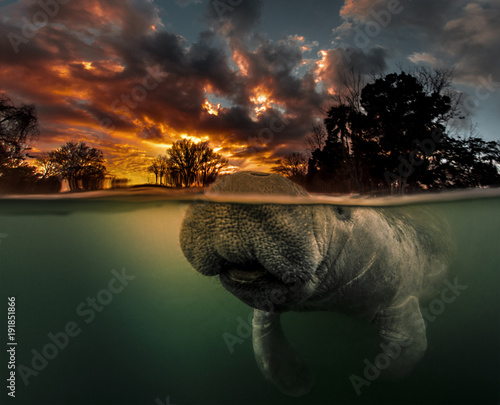 Manatee surfacing in 3 Sisters Spring at sunrise. This manatee actually photobombed me when I was shooting this over/under dawn shot.