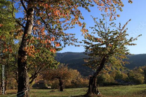 Fotografia  Cherry tree with autumn foliage in Pyrenees