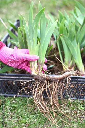 Poster Iris The gardener holds the iris root in his hands before planting. Spring works in the garden in a flower garden, transplantation of perennial flowers.