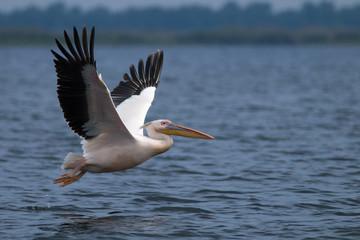 Fototapeta na wymiar White Pelican in Danube Delta