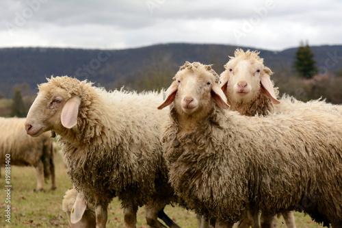 Fotobehang Schapen Schafe