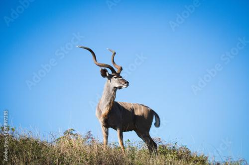 Photo Stands Antelope Antilope bei Safari in Südafrika