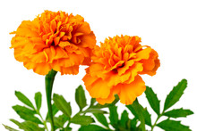 Fresh Orange Marigold Flowers ...
