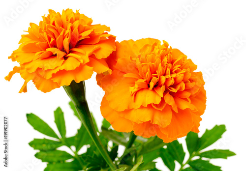 Fotografía  fresh orange marigold flowers isolated on white