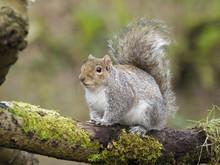 Grey Squirrel, Sciurus Carolin...