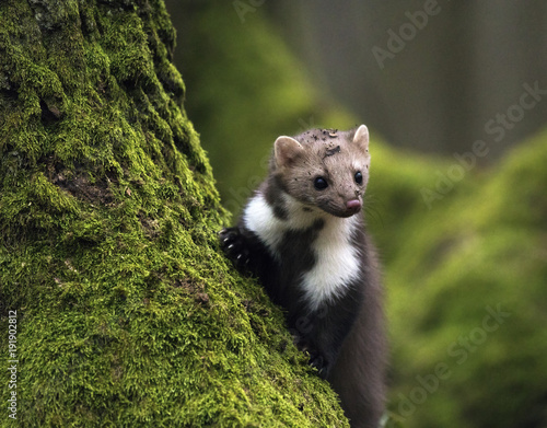 Stone marten on an old tree. Detail portrait of forest animal. Wall mural