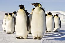 Emperor Penguins(aptenodytes Forsteri)colonies In Antarctica