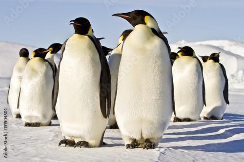 Fotomural Emperor penguins(aptenodytes forsteri)colonies in Antarctica