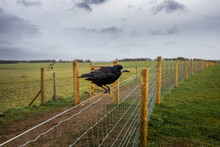 Crow Of Stonehenge, Wiltshire, England