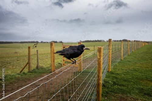 Foto  Crow of Stonehenge, Wiltshire, England