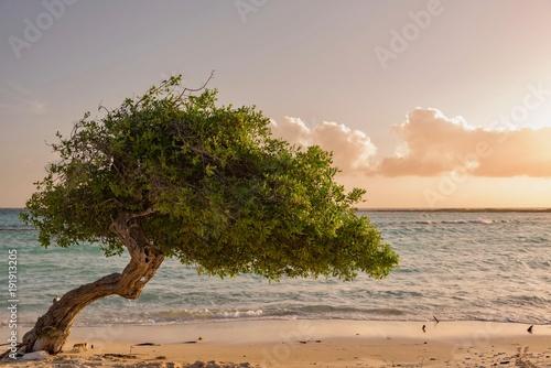 Photo  Divi Divi tree at sunset on the Caribbean beach of Aruba