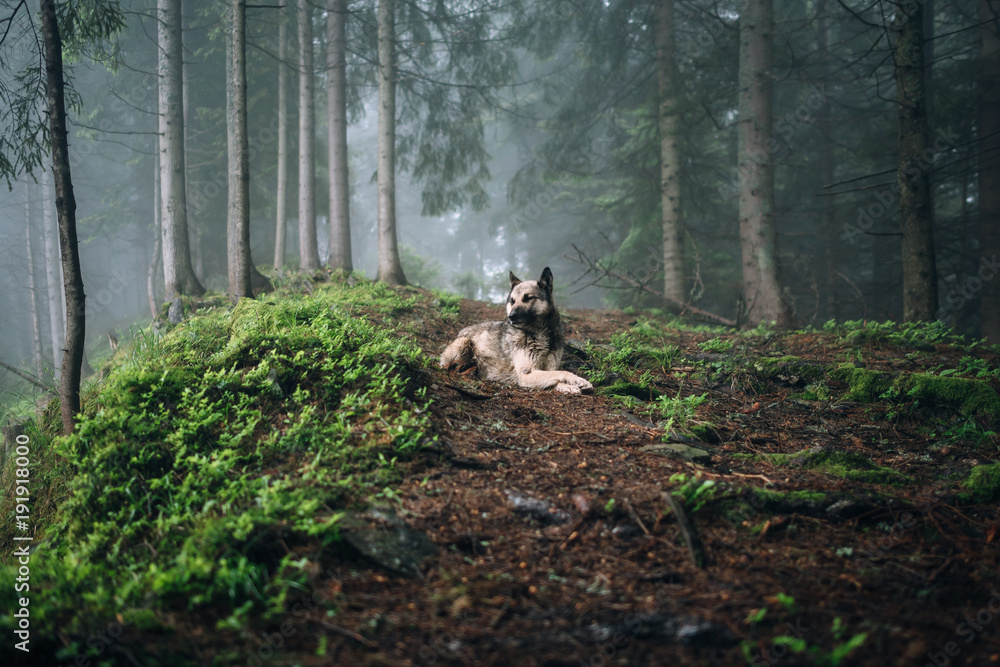 Fotografía  Summer landscape with dog in a forest with fog.