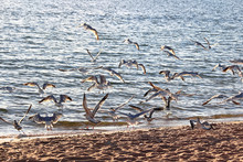 A Colony Of Gulls Fly Away On ...