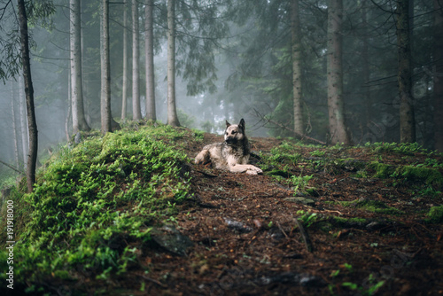Fotografiet  Summer landscape with dog in a forest with fog.
