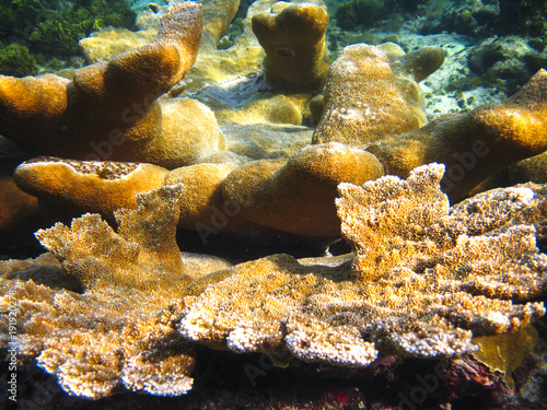 Photo  A group of elkhorn coral (Acropora palmata) illuminated in the sunlight