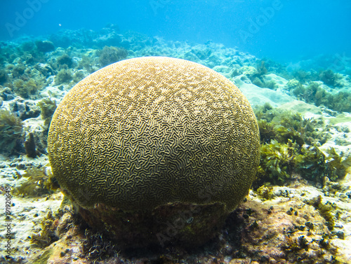 Photo  A large piece of brain coral (family Mussidae or Merulinidae) in the Caribbean Sea